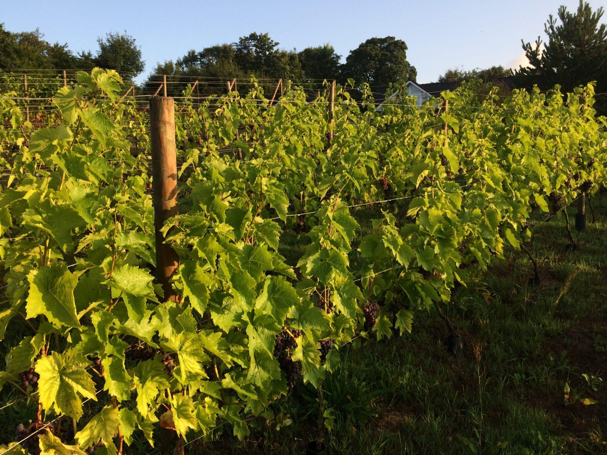 Hebbelstrup vingård